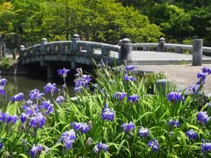 円山公園のカキツバタ