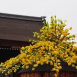 葵祭 京都御苑