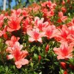 サツキの花