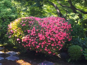 東福寺 ハート形のサツキ