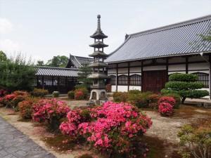 興聖寺のサツキ