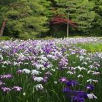 平安神宮 花菖蒲