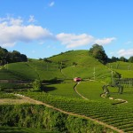 和束町石寺の茶畑