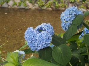 祇園白川 ハート形のアジサイ