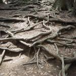 鞍馬山中 木の根道