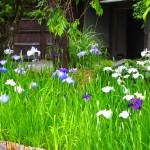 しょうざん庭園 花菖蒲