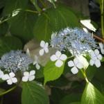 霊源院 甘茶の花