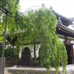 善峯寺 桂昌院お手植えの桜