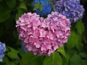 智積院 ハート形の紫陽花
