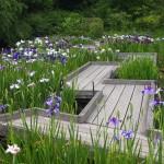 京都府立植物園 花菖蒲