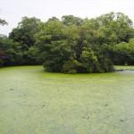 神泉苑 水草大量発生