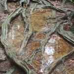 雨の鞍馬山 木の根道