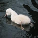 六角堂 白鳥の雛