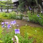 禅居庵の桔梗