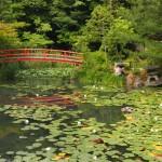 大原野神社 鯉沢池の睡蓮