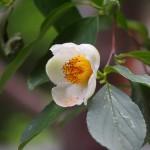 東林院 沙羅の花