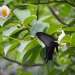 東林院 沙羅の花とクロアゲハ