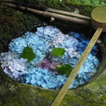楊谷寺 紫陽花の手水鉢