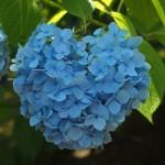 天龍寺 ハート形の紫陽花