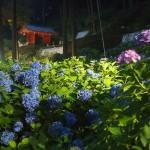 三室戸寺 紫陽花ライトアップ