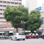 ハート形の木 2013年6月