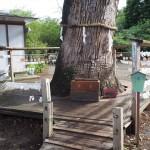 平野神社のクスノキ