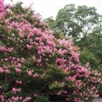 京都御苑 サルスベリ