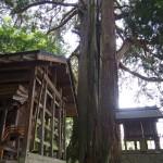 朝倉神社の大杉
