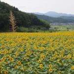 与謝野町ひまわりフェスティバル 8月