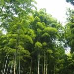瑞々しい竹林
