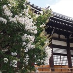 本隆寺のサルスベリ