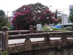 堀川のサルスベリ
