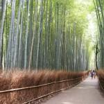 嵯峨野の竹林 8月