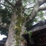 浄福寺 モチノキ