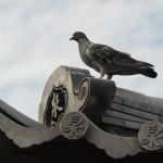 神泉苑のハト