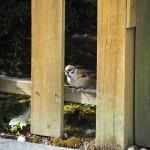 神泉苑のスズメ