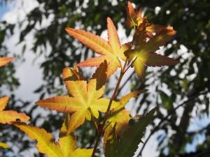 嵐山の楓 9月7日