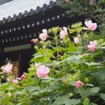 浄瑠璃寺 芙蓉