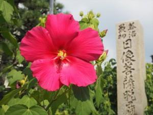 妙蓮寺の芙蓉