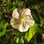 京都府立植物園 ヨルガオ 9月