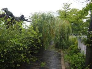 台風で倒れた柳
