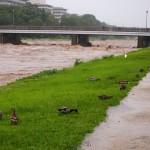 激しく増水した鴨川 避難する鳥たち