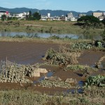 桂川 畑も水にのまれた