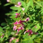 平安神宮 萩の花