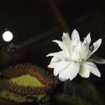 京都府立植物園 蓮と満月