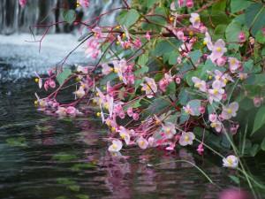 梅小路公園の秋海棠