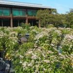 梅小路公園 朱雀の庭 藤袴