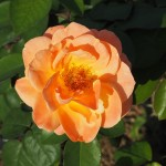 綾部バラ園 アンネのバラ 10月