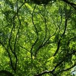 輝く楓の緑