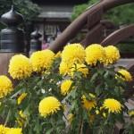 梅宮大社の菊